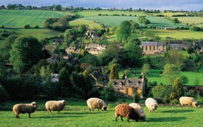 Cotswold sheep in field